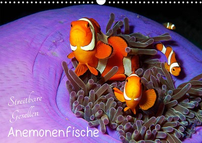 de_af_19_00_amphiprion_ocellaris_falscherclownfisch_3280605f_web