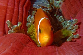 992_kunstdruck_amphiprion_nigripes_malediveanemonefish_a270461f_web
