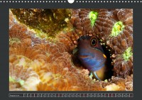 uk_cr_19_08_ecsenius_stigmatura_blenny_5261743f_32_web