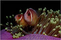 Halsband-Anemonenfisch/Amphiprion perideraion-(c)Andreas Gerking