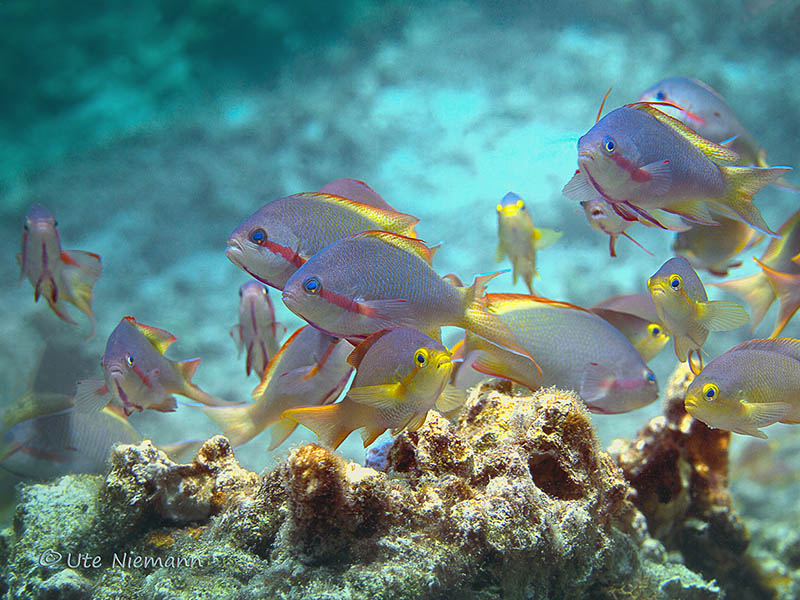 Fahnenbarsche, Anthias