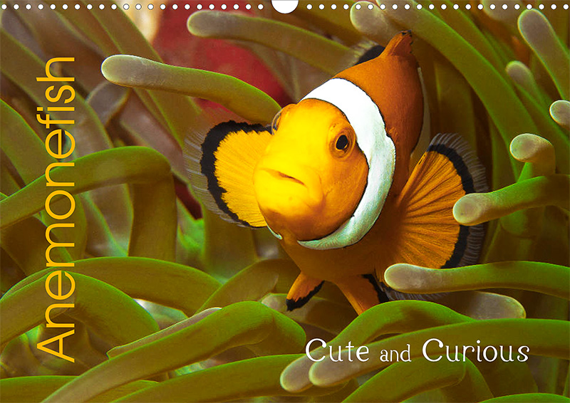 Kalender: Anemonefish - Cute and Curious