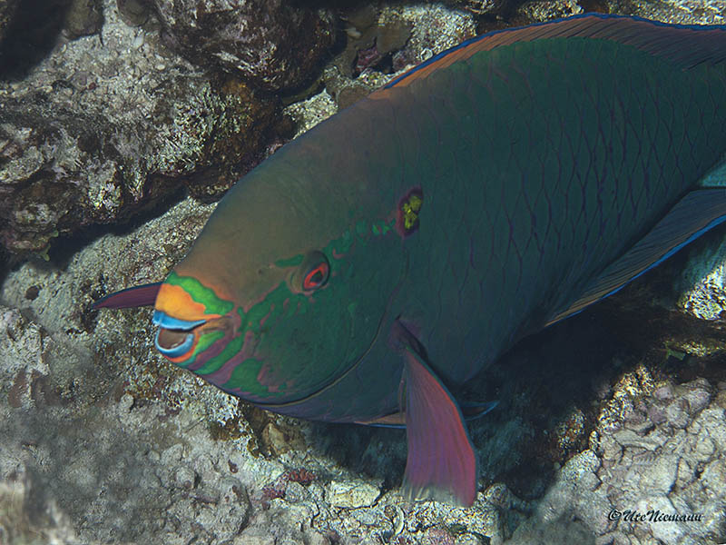 Scarus niger / Dunkler Papageifisch / Dusky parrotfish - Terminale Phase . . . . . Woodhouse Reef / Nordtour Rotes Meer 2013 - (c)Ute Niemann