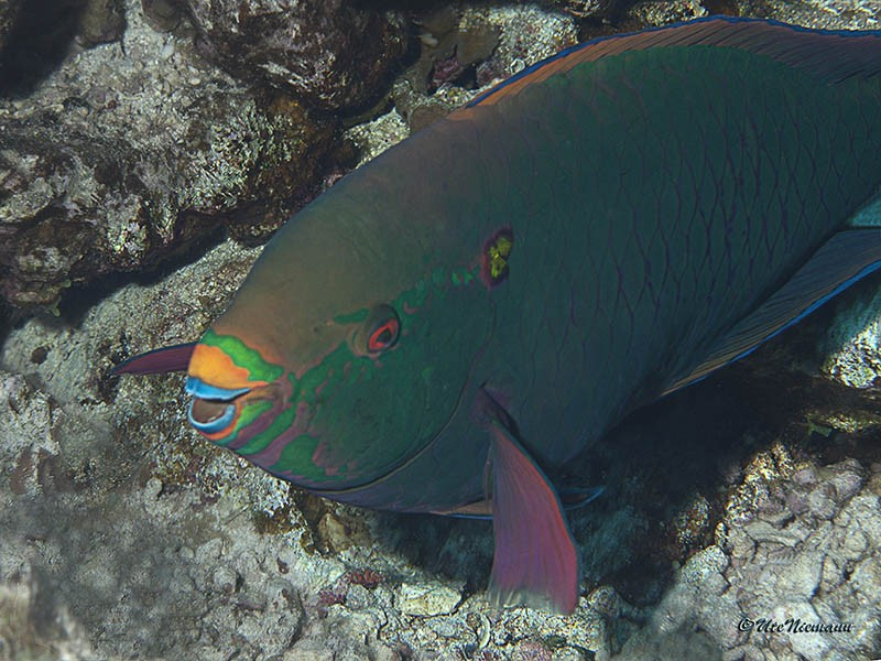 Scarus niger / Dunkler Papageifisch / Dusky parrotfish - TP . . . . . Woodhouse Reef / Nordtour Rotes Meer 2013 - (c)Ute Niemann