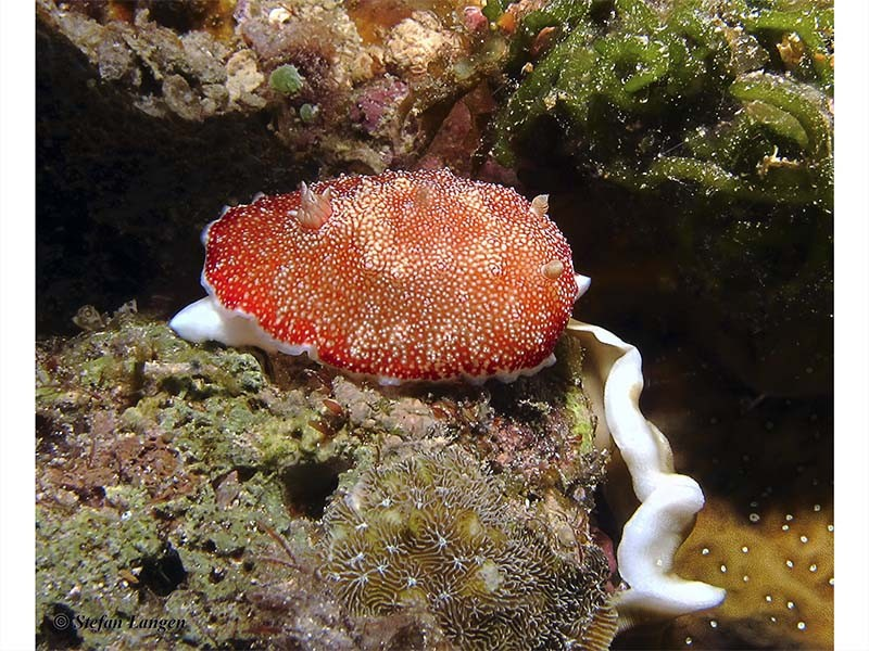Chromodoris reticulate