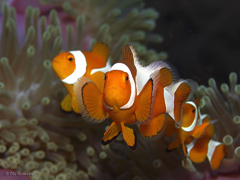 Amphiprion ocellaris / Falscher Clownfisch / Clown anemonefish . . . . . Pulau Pef / Raja Ampat 2011 - (c)Ute Niemann