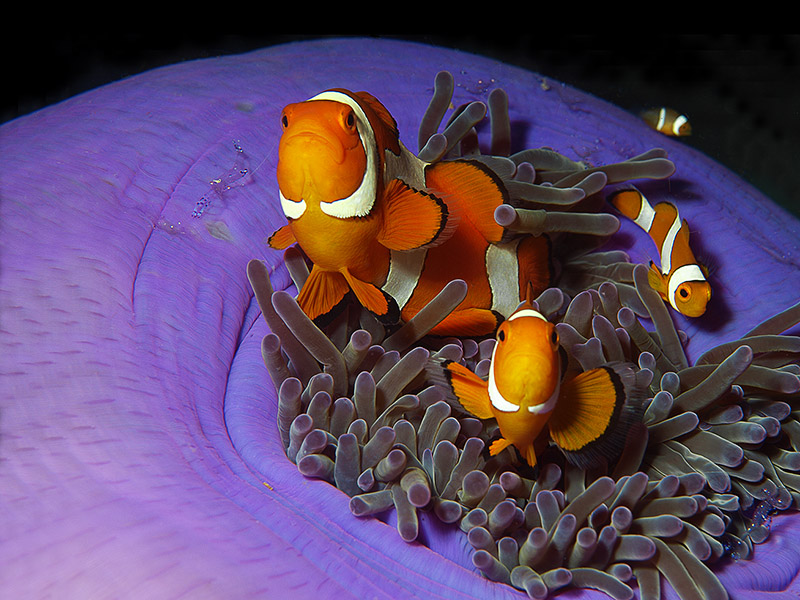 Amphiprion ocellaris / Falscher Clownfisch / Clown anemonefish . . . . . Pulau Pef / Raja Ampat 2012 - (c)Ute Niemann